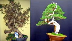 Evoluzione Bonsai    : FORUM BONSAI LODI - DAVIDE CARDIN - BONSAI DI GINE...