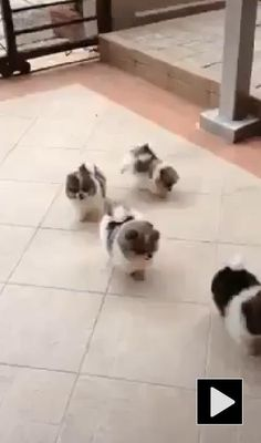 Shih tzu puppies are so darn cute !