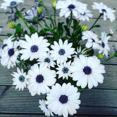 """25 Beğenme, 1 Yorum - Instagram'da Pan Çiçekçilik (@pancicek): """"Osteospermum ecklions (bodrum papatyası) yari geçirgen hafif topraktan hoşlanan bodrum papatyası…"""""""
