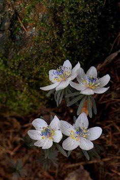 이른 봄에 피어나는 변산바람꽃입니다. 카메라 들고 꽃 찍으러 다녀야 하는데 바빠서리 잘 안되네요. 바람꽃 보실때 하얀 꽃잎 다섯장은 사실은 꽃이 아니라 꽃밭침 입니다. 안에 보이는 노랑과 연녹색으로 이루어진 부분이 꽃입니다.
