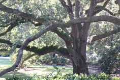 Oak at Jefferson Island near Lafayette, Louisiana