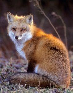 Red Fox by James Brisciana