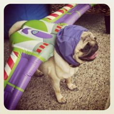 Pug Lightyear. Why do we do this to our pugs? Because they are so darn cute and good sports!!