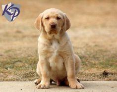Dozer – Labrador Retriever – Yellow Puppy #keystonepuppies  #yellowlab