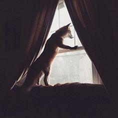 У лис сильно развит инстинкт охотника.