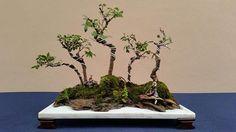 #bonsaienvenezuela #bonsaistasdevenezuela #penjin #bonsai curso de Penjin, escuela MRH bonsai, artist: Joseph Gampel