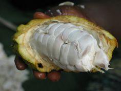 Biji koko yang telah diproses menjadi coklat mempunyai banyak khasiat. Koko mengandungi protein dan tiga jenis tenaga iaitu lemak, gula dan karbohidrat. Oleh itu koko sering kali digunakan sebagai makanan yang bertenaga.