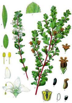 Buchu Botanical Drawings, Botanical Illustration, Baobab Oil, Poisonous Plants, Plant Science, Healing Herbs, Botany, Herbalism, African