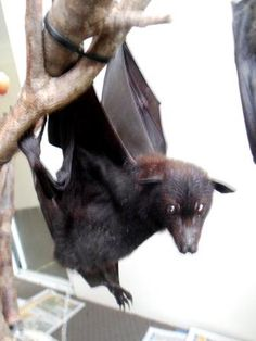 People think bats are dirty and pee on themselves. The truth is they spend hours grooming, and turn themselves around to pee. :)