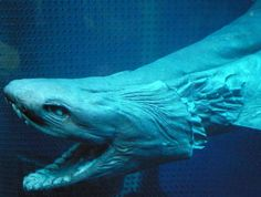 The frilled shark is an eel-like deep sea animals that can be found as far down as feet underwater Deep Sea Animals, Deep Sea Creatures, Scary Sea Creatures, Lovely Creatures, Bizarre Animals, Like Animals, Ugly Animals, Deadly Animals, Cutest Animals