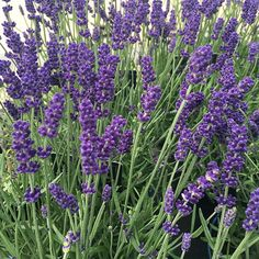 Buy lavender Lavandula angustifolia Hidcote: £5.99 Delivery by Crocus