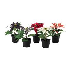 Christmas Poinsettia https://eg.bkam.com/en/products/search?query=Poinsettia&category_id=238&desktop=true&ref=BkamChristmas #BkamChristmas #Christmas #Gifts