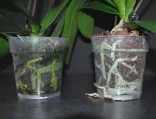 Orchid Roots as Watering Indicator Well-watered roots should be a healthy green color, while grayish-white roots indicate more water is needed. Mine are gray!
