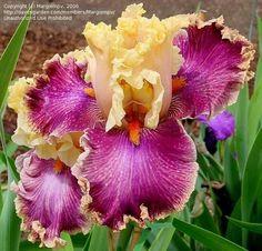 Tall Bearded Iris 'Decadence'