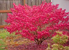 Burning Bush Euonymus wanna plant one in front of the house . so beautiful :)