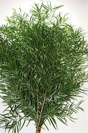 Podocarpus Weeping - Florida Greens - Greens, Foliages and Branches - Flowers by category | Sierra Flower Finder