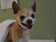 SUPER URGENT 04/23/16 Manhattan Center PINKY – A1071209 MALE, TAN / WHITE, CHIHUAHUA SH MIX, 15 yrs OWNER SUR – EVALUATE, HOLD FOR ID Reason OWNER SICK Intake condition EXAM REQ Intake Date 04/23/2016, From NY 10032, DueOut Date 04/23/2016,