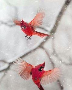 Red birds, love them.