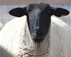 Suffolks - gramps raised these woollys Farm Animals, Animals And Pets, Cute Animals, Alpacas, Suffolk Sheep, Baa Baa Black Sheep, Chicken Pictures, Bee Farm, Sheep And Lamb