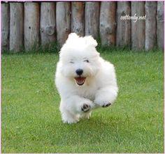 COTTONLY - Coton de Tulear Puppies www.cottonly.net/coton-de-tulear-puppies/