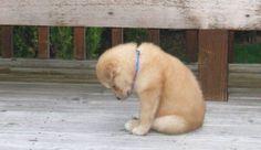 Tiny Alaskan husky puppy is very sorry…...