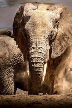 elephant in the samburu Kevin Porter, Lovely Creatures, Animal Kingdom, Kenya, Wildlife, Africa, Explore, Nature, Elephants