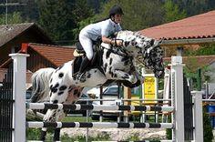 Knabstrupper stallion jumping