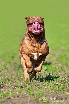 Pure Happiness Douge de Bordeaux French mastiff....
