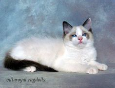 "So named for their habit of going limp in your arms, during an attention session. Rag dolls are gorgeous and feel soft and fluffy to touch. They are incredible cuddle cats, have a tiny voice, and love to spend hours,in your lap or next to you being petted and purring back. They truly are ""love bugs"""