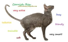 Cornish Rex cat facts, pictures and information.Cornish Rex cats desire human interaction that can't be replaced with another cat or other pet, an excellent cat for someone looking for a real buddy Kitten Love, I Love Cats, Cool Cats, Cornish Rex Kitten, Pedigree Cats, Devon Rex Cats, Cat Ages, F2 Savannah Cat, Cat Sketch