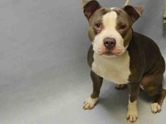 TO BE DESTROYED 12/31/16: ****PUBLICLY ADOPTABLE**** My name is BUBBA. My Animal ID # is A1100405. I am a male blue and white am pit bull ter mix. The shelter thinks I am about 1 YEAR  I came in the shelter as a OWNER SUR on 12/23/2016 from NY 10314, owner surrender reason stated was ATT PEOPLE.