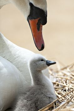 Mute Swan Mama & Baby - hunted without mercy in every state thanks to the federal fish and wildlife labeling it an invasive species Beautiful Swan, Beautiful Birds, Animals Beautiful, Animals And Pets, Baby Animals, Cute Animals, Swans, Mute Swan, Swan Lake