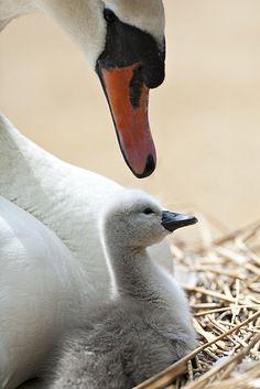 Mute Swan Mama & Baby