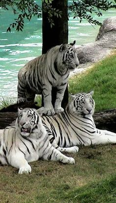 Beautiful, BUT the only way that there are white tigers is from inbreeding. Which makes them all cross-eyed, sickly and prone to genetic physical problems.