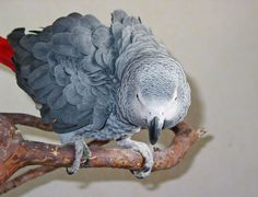 """Search Results for """"Size of cage"""" – Page 3 – Green Cheek Conure Timneh African Grey, African Grey Parrot, Types Of Species, Colorful Parrots, Parrot Toys, Conure, Cockatiel, Exotic Birds"""