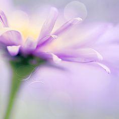 Lavender by Lady-Tori.deviantart.com