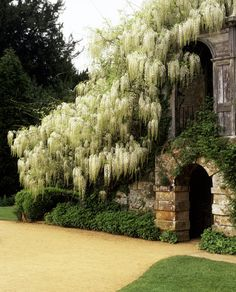 Wisteria floribunda 'Alba' - beautiful white Wisteria in full flower at Scotney Castle garden Wisteria Tree, White Wisteria, Beautiful Flowers Garden, Beautiful Gardens, Porches, White Gardens, Dream Garden, Garden Planning, Landscape Architecture