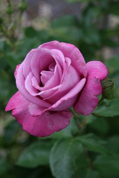 ~Grandiflora Hybrid Tea Rose: Rosa 'Fragrant Plum' (U.S., 1990)