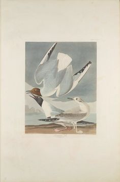 "The Birds of America, Plate #324: ""Bonapartian Gull"", John James Audubon, 1827–1838, Transfer from the North Carolina State Library"