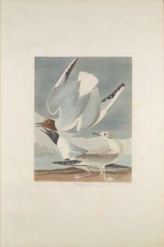 "The Birds of America, Plate #324: ""Bonapartian Gull"", John James Audubon, 1827–1838, Transfer from the North Carolina State Library"