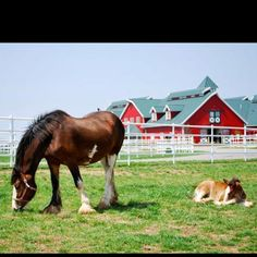 """(KTVI) – This Saturday, March is """"Opening Day"""" for Warm Springs Ranch, the state-of-the-art breeding facility for the Budweiser Clydesdales. Tours allow guests to see and interact with the more than 100 Clydesdales who call the farm home. Big Horses, Horse Love, Beautiful Horses, Animals Beautiful, Pretty Horses, Warm Springs Ranch, Budweiser Commercial, Clydesdale Horses, Breyer Horses"""
