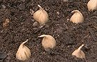 when to plant bulbs
