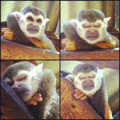 Even squirrel monkeys need some rest!