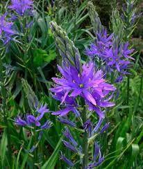 CAMASSIA quamash - Prærielilje, farve: blålilla, lysforhold: sol, højde: 60 cm, blomstring: maj - juni.