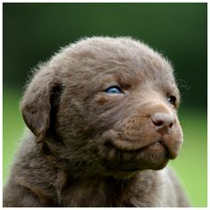 Sweet Chesapeake Bay Retriever puppy. Chesapeake Bay Retriever dog art portraits, photographs, information and just plain fun. Also see how artist Kline draws his dog art from only words at drawDOGS.com #drawDOGS http://drawdogs.com/product/dog-art/chesapeake-bay-retriever-dog-portrait-by-stephen-kline/