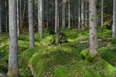 An old forest in Sweden with lots of stones covered in moss.