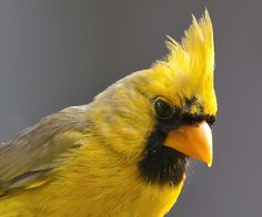 Yellow Northern Cardinal - According to bird plumage expert Geoff Hill (Auburn University): This cardinal is yellow because of a rare genetic mutation. The mutation is associated with fitness costs so it doesn't spread in areas. It arises de nova once in a while.