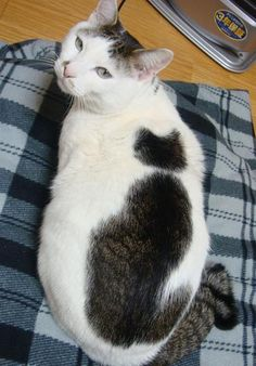 Usop, a Japanese cat with a cat-shaped spot on her back!|Neko 猫