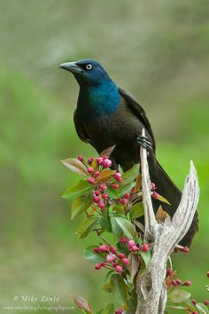 """Common Grackle"" by Mike Lentz Photography on flickr"