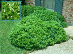 Pictures of Dwarf Shrubs | Pittosporum